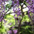 写真: トクさんぽ09 藤とハチ
