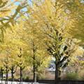 写真: トクさんぽ 21 イチョウ並木