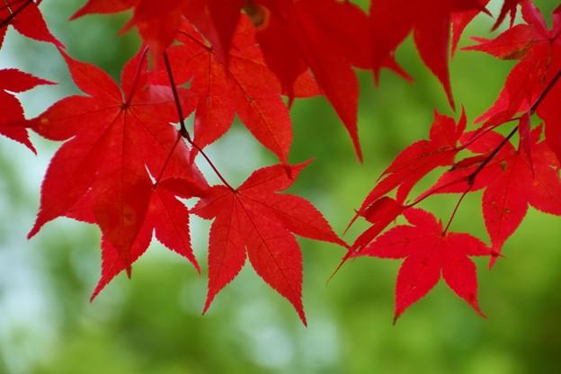 紅葉のカーテン