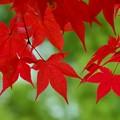Photos: 紅葉のカーテン