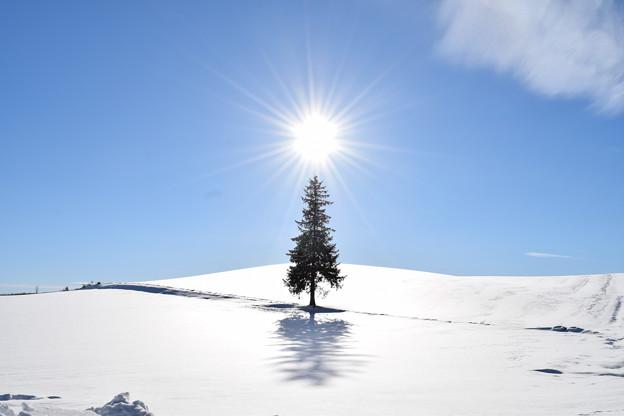 クリスマスツリーの木