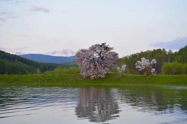 残雪の山と桜