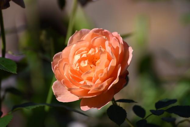 薔薇orange