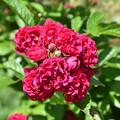 薔薇(密)