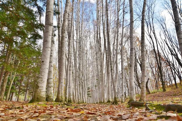 Photos: 白樺並木