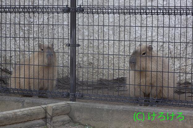 ちゃーしゅー(左)と、めんま(右)。