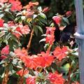 写真: 黒蝶