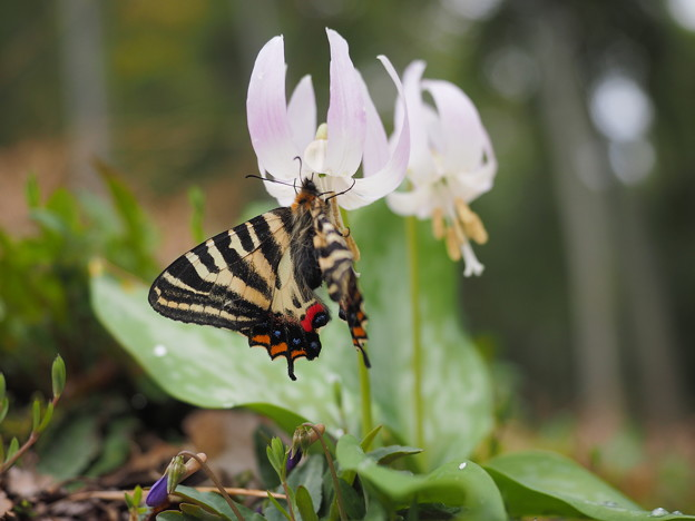 白花カタクリとギフチョウ