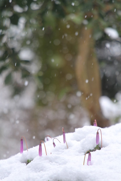 カタクリを眠らせ春の里山に雪降り積む