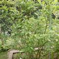 Photos: ブルーベリーの木