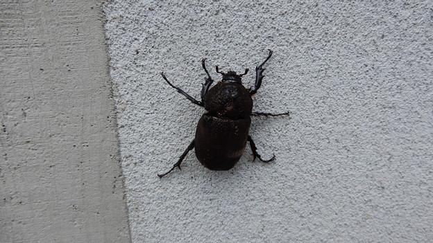 カブトムシ雌