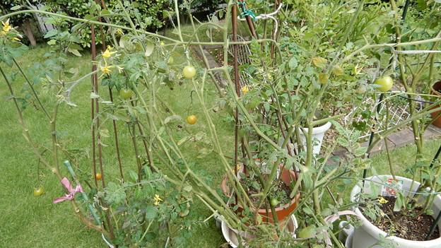 ミニトマトの再生2