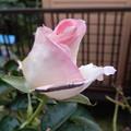 Photos: 9月のバラ2