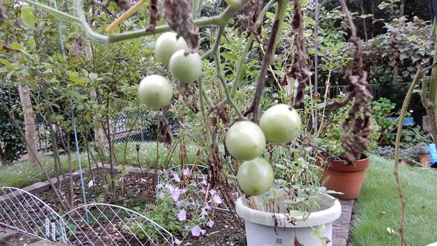 秋のミニトマト