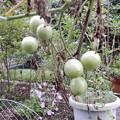 Photos: 秋のミニトマト