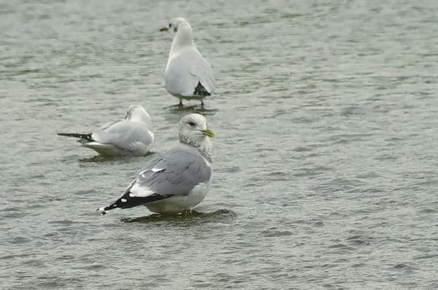 181211カモメ成鳥冬羽1