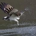 Photos: 200212ミサゴ大和川