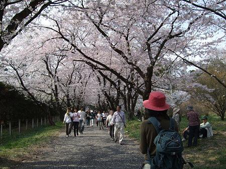 赤城千本桜 sachiさん