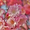 DSC_2950 桜