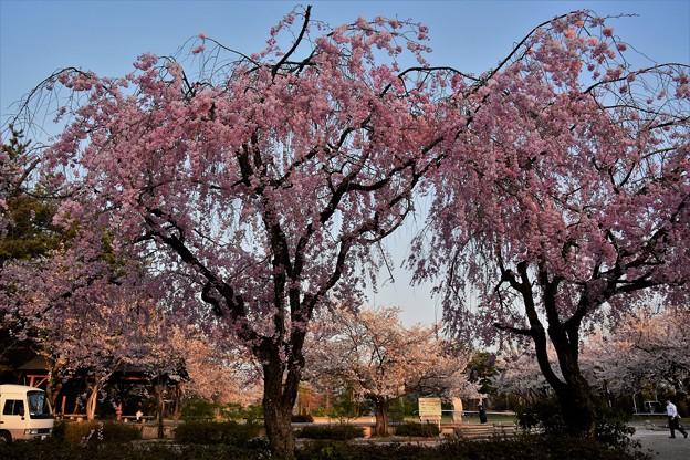 DSC_3940  枝垂桜