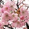 IMG_3386 兼六園熊谷桜