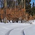 写真: マンサクは満開だが、雪はまだ沢山 IMG_0753