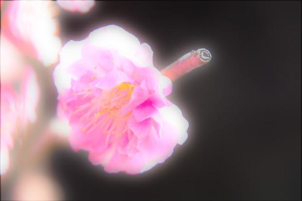 写真: 紅梅 IMG_1652 (2)