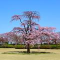 Photos: 一本の枝垂れ桜 IMG_3166