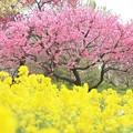 写真: 春彩 IMG_0051