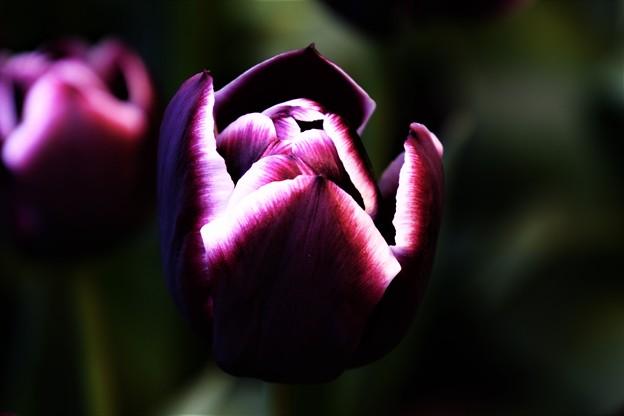 黒いチューリップ DSC_6048