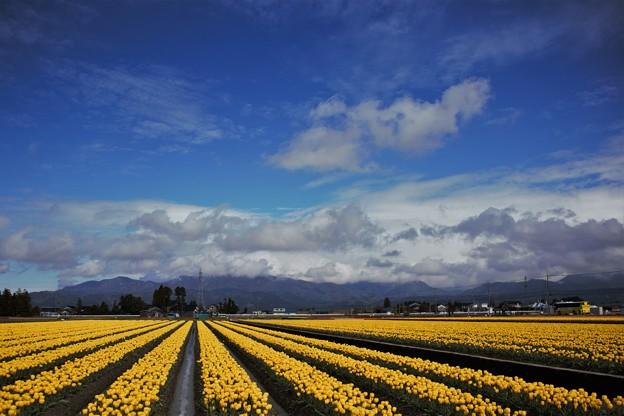 チューリップ畑 IMG_0221