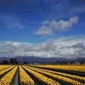 写真: チューリップ畑 IMG_0221