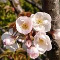 Photos: 寄り添う桜(202004-1)