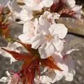 Photos: 寄り添う桜(202004-2)