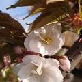 Photos: 寄り添う桜(202004-3)
