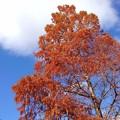 パーキングエリアの秋-メタセコイア(20,1122)