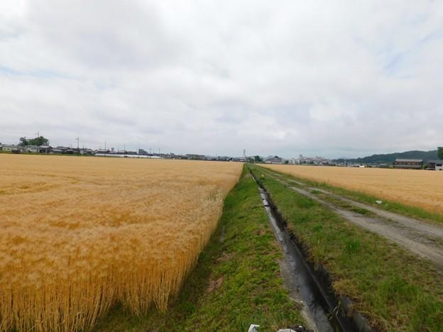 Photos: 麦畑2