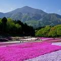 羊山公園「芝桜の丘」