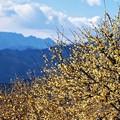 臘梅と両神山