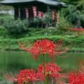 Photos: 水辺の彼岸花