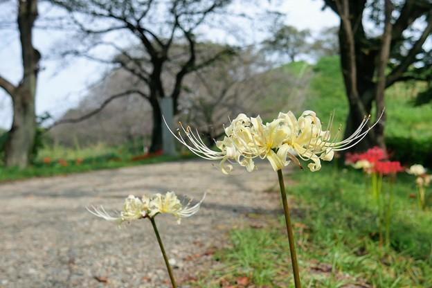 Photos: 石田堤の彼岸花