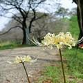 石田堤の彼岸花