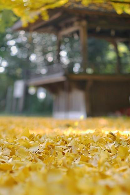 銀杏の絨毯