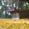 Photos: 銀杏の絨毯