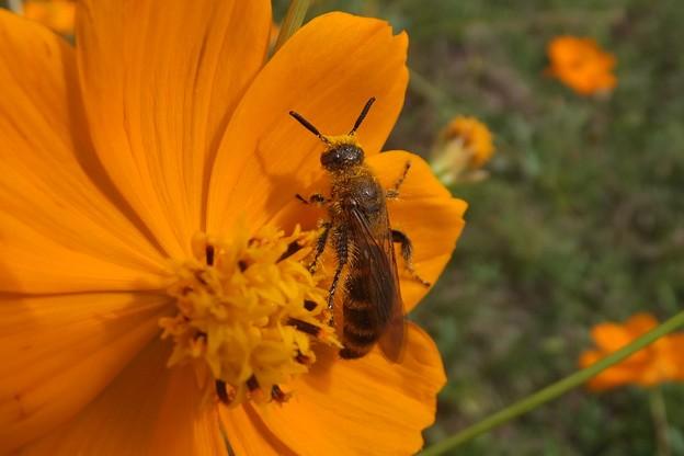 キンケハラナガツチバチ♀