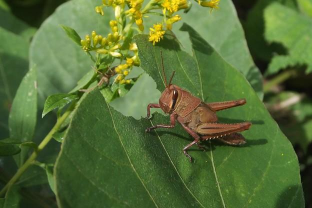ツチイナゴ幼虫