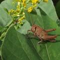 Photos: ツチイナゴ幼虫