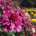 Photos: ざる菊