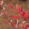 Photos: 畑の片隅の紅葉