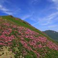 ☆三俣山ミヤマキリシマ満開